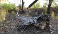 Fallen Tree - Rio Grande - Albuquerque