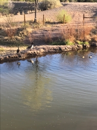 Ducks at the Bridge - Mile 2 - Rio Grande - Albuquerque